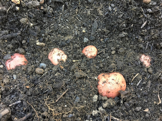 Kartoffeln im Gemüsebeet