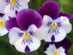 bunga melati jenis langka