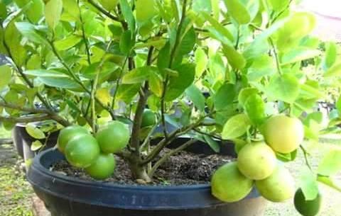 Kendala penanaman buah tambulapot