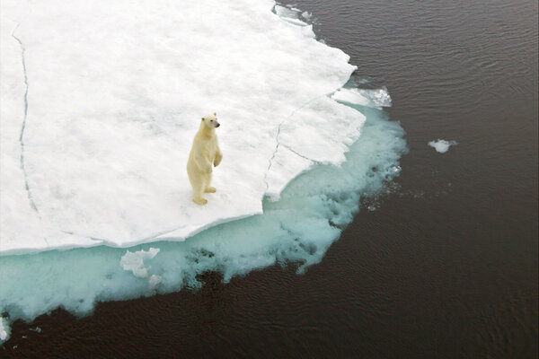 Polar Bears are facing extinction