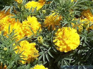 Rose d'Inde - Tagetes erecta - Horticole