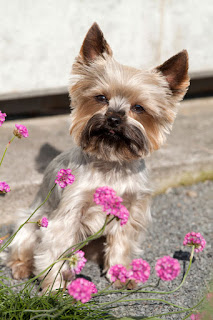 A Yorkshire Terrier puppy sits near some pink flowers