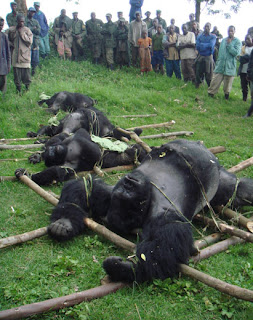 Senkwekwe's family of Mountain Gorillas was massacred by poachers in 2007