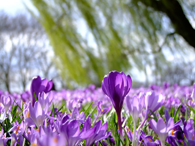 How to grow crocus bulbs