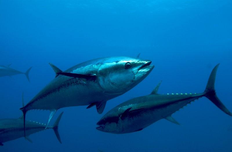 Gambar Jenis Ikan Tuna-Ikan Tuna Sirip Biru Atlantik (Thunnus thynnus)