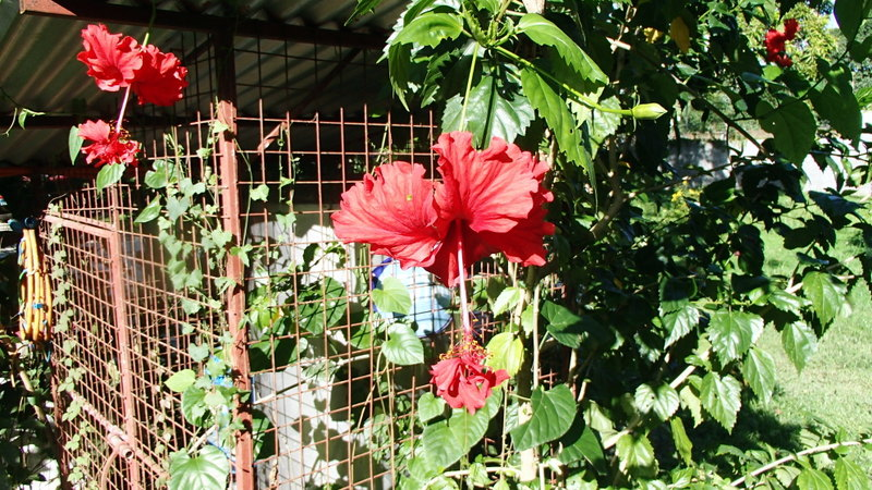 Xtremehorticulture Of The Desert Hibiscus Blooming But Leaves Too Small