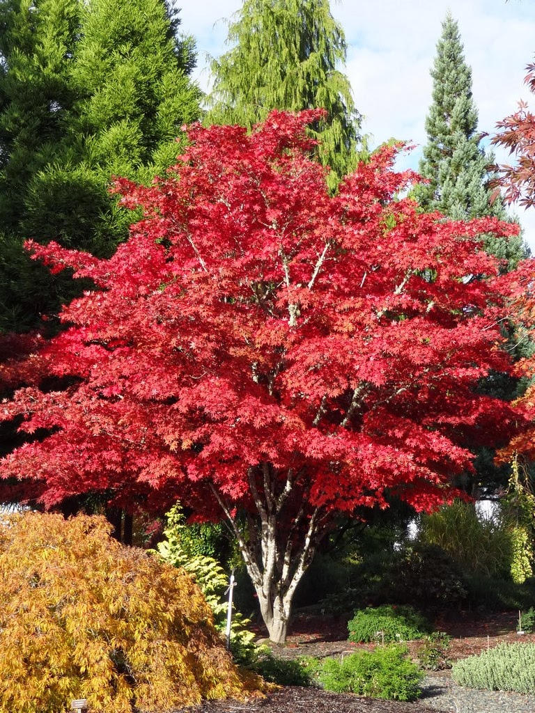 Acer Palmatum. the graceful gardener my love affair with ...