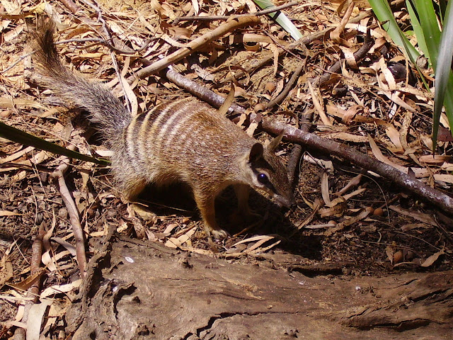 Do you know Numbat? See facts and information 3
