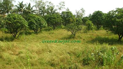 coconut trees overlooking mango orchard