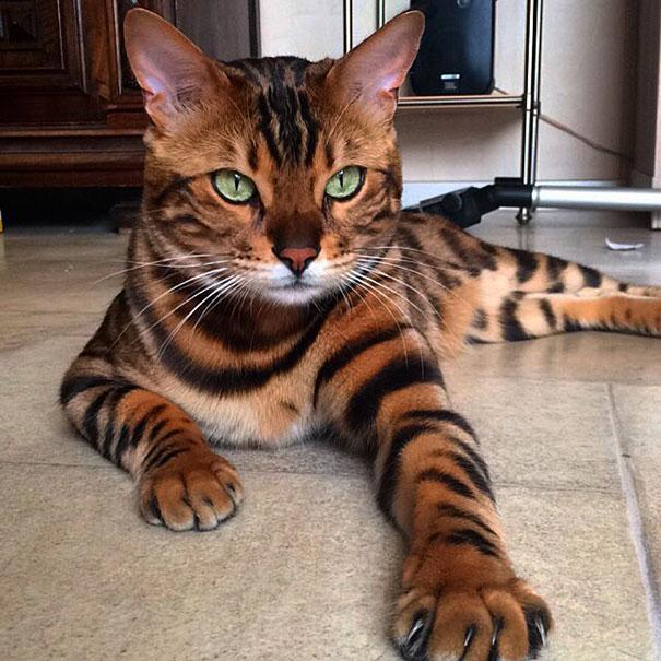 040b9d9fd13b Δείτε τη γάτα – «τίγρη»! (Εικόνες) « TROMAKTIKO.org