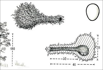 nidos de passeriformes en Argentina Pijuí frente gris Synallaxis frontalis