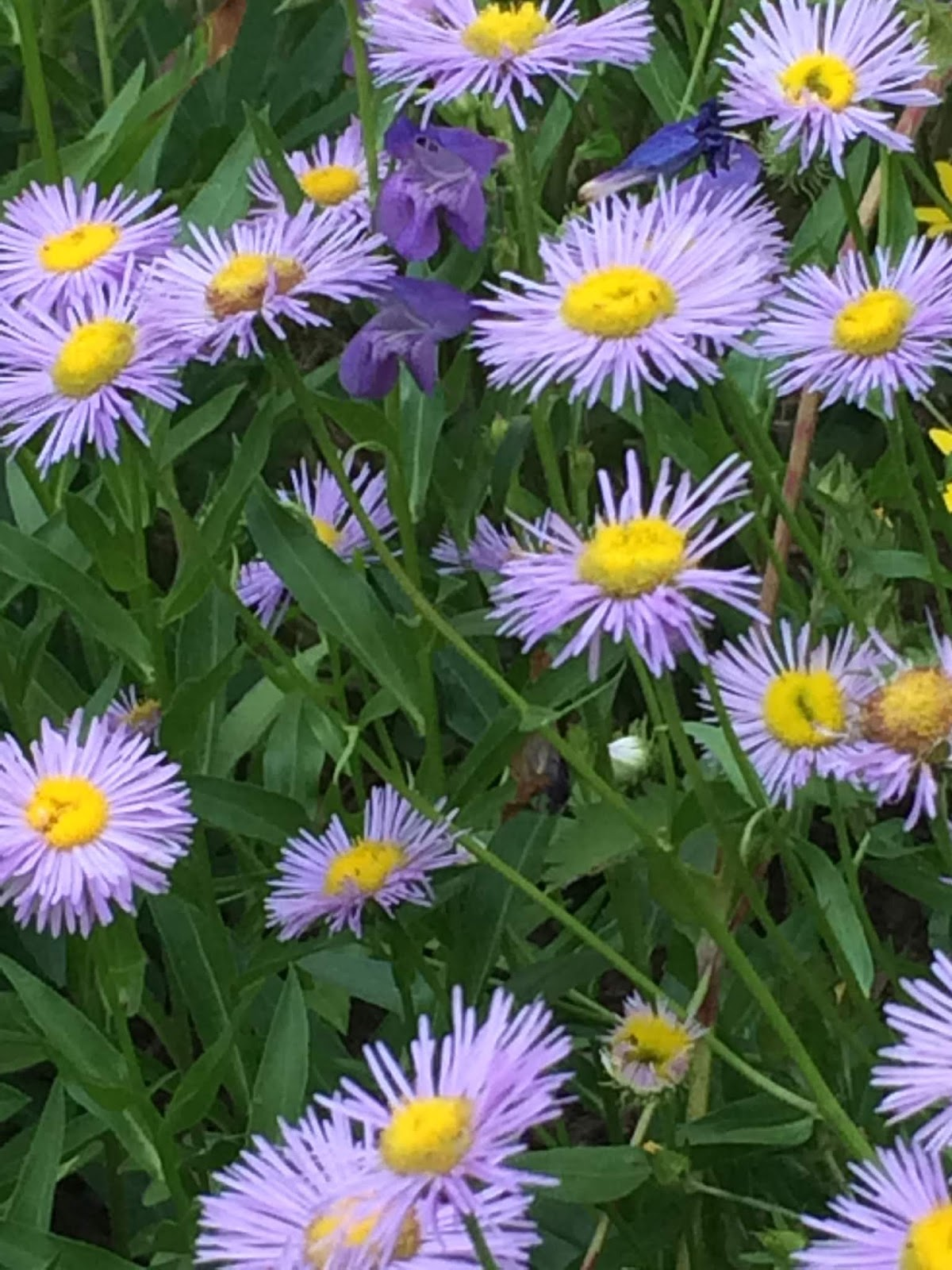 Colorado Mountain Gardener Paint My Garden Purple