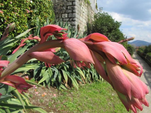 Fioritura Beschorneria yuccoides