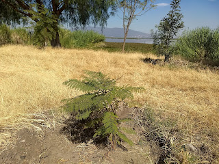 laguna de yuriria lake conservation reforestation ecosystem guanajuato mexico tree jacaranda