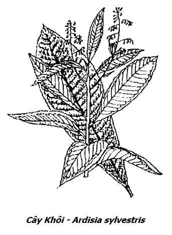 Hình vẽ Cây Khôi - Ardisia sylvestris - Nguyên liệu làm thuốc Chữa Đau Dạ Dày
