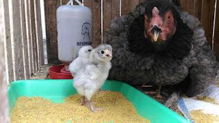 cara Maksimalkan Potensi Genetik Ayam