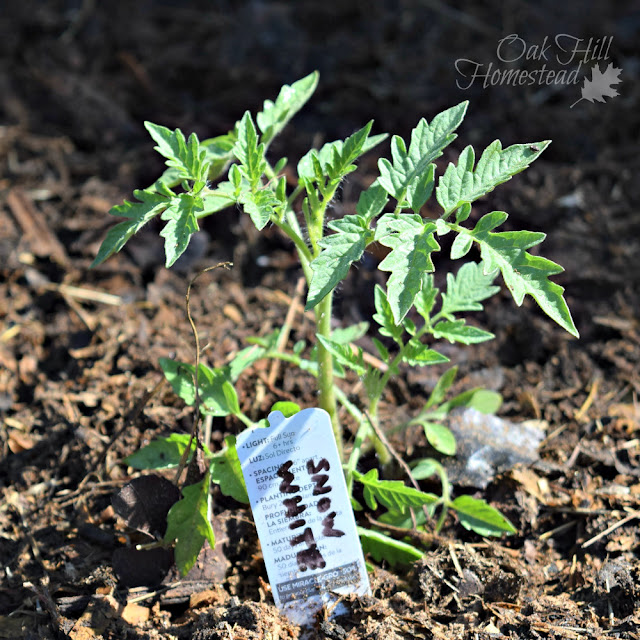 The best way to root tomato cuttings