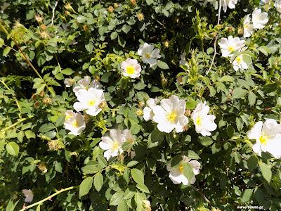 Μάιος-Αγριοτριανταφυλλιά: Βότανα και φαρμακευτικά φυτά της Ελλάδας