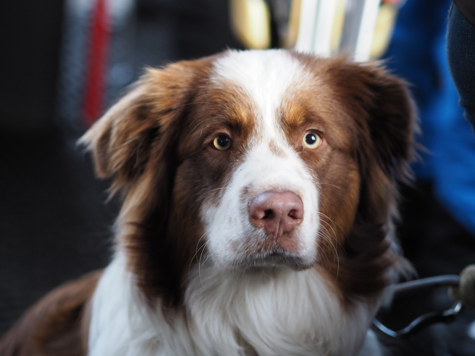 Fluffy brown and white dog with yellow eyes