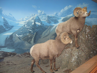 The Bighorn Sheep dispaly from my last trip to the museum