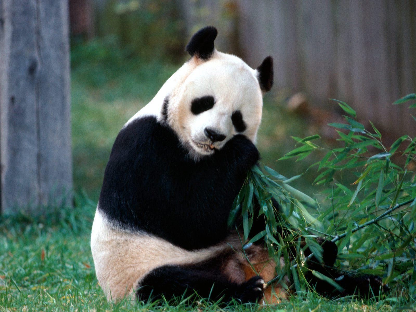 IMAGENES ANIMALES EN ALTA DEFINICION: IMAGEN OSO PANDA