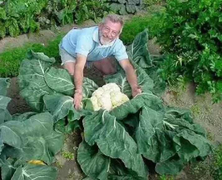 world's biggest cauliflower
