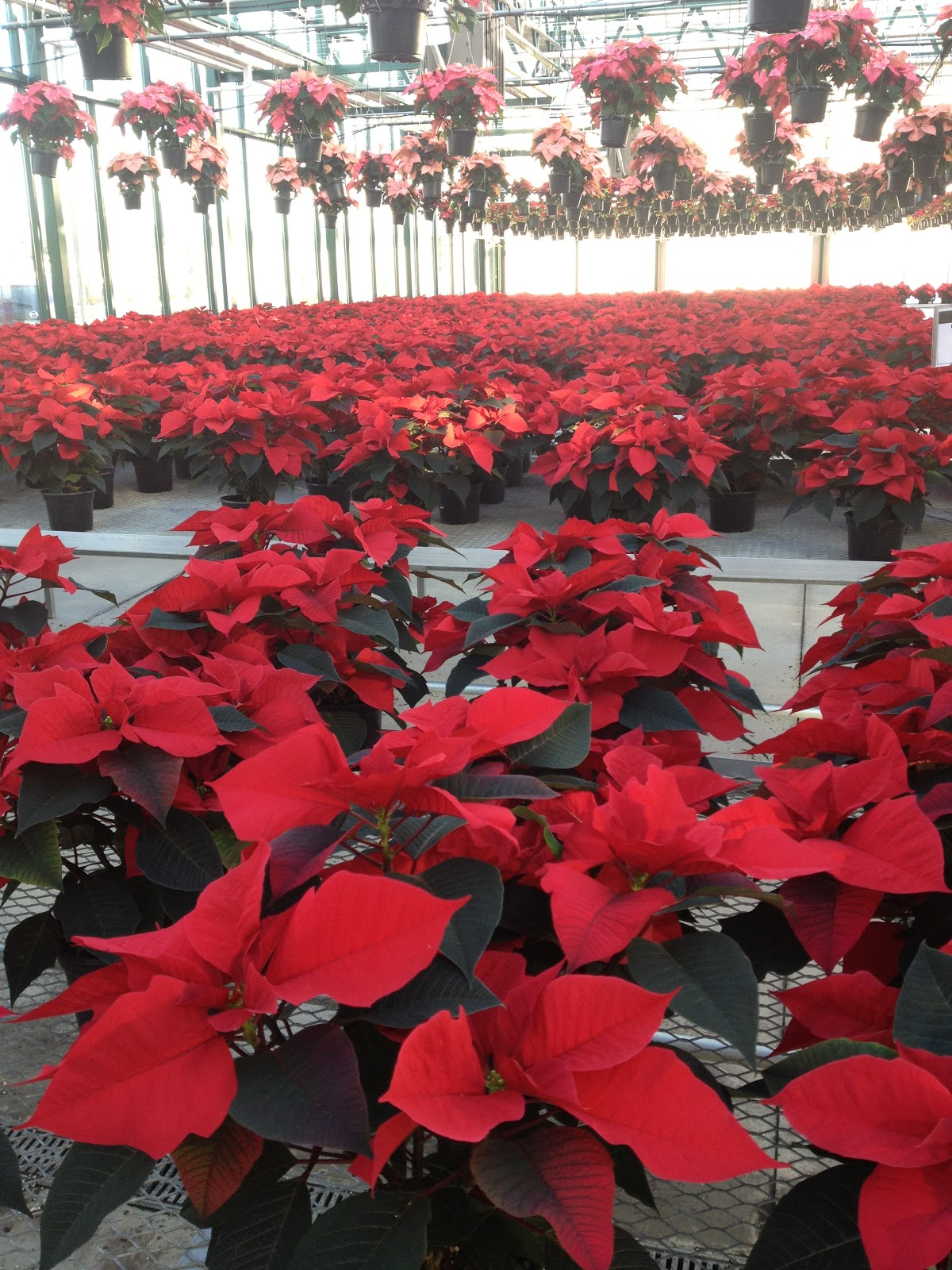 Poinsettias In Every Color Even Blue The Impatient Gardener