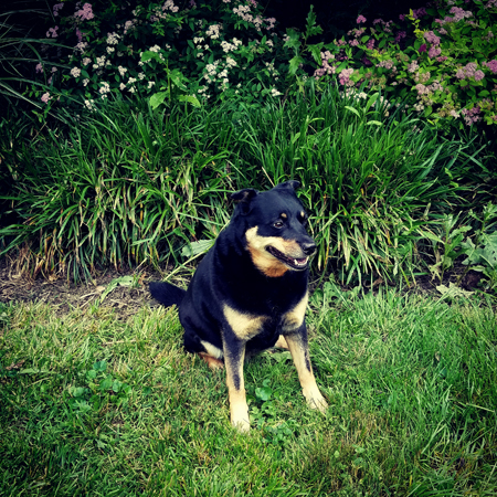 image of Zelda the Black and Tan Mutt sitting in the garden, smiling