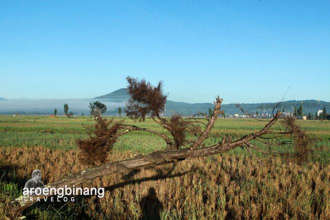 pohon cemara roong tondano minahasa sulawesi utara