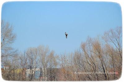 черный коршун в полете над деревьями, магия биологии, третья волна