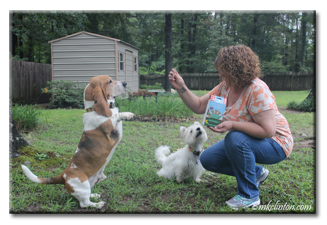 Bentley Basset standing for treat with Pierre Westie barking.