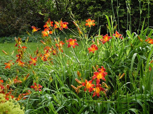 kępa liliowców