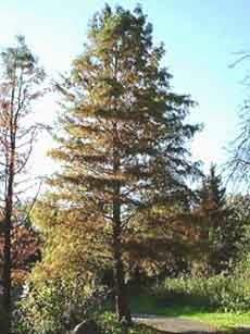شجرة التوكسوديوم Taxodium distichum (L.) Rich