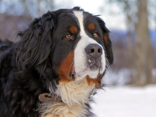providence mountain great bernese great bernese