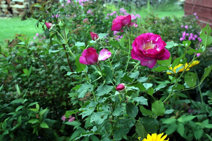 Temperate Climate Permaculture Permaculture Plants Roses