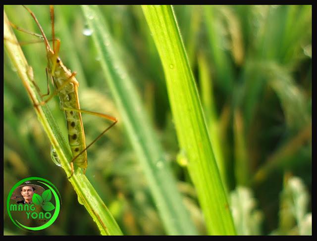 Tanaman padi sawah di Tegalsungsang, Pagaden Barat, Subang terserang hama walang sangit