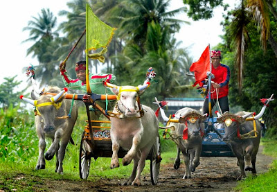 Makepung, Tradisi Kerapan Sapi Di Jembrana Bali