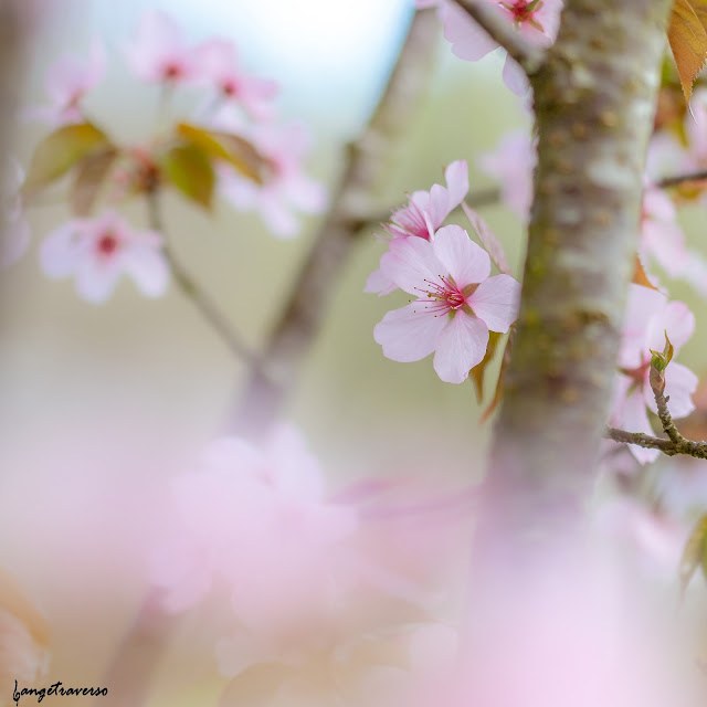 flore, flore des alpes, nature, natural, macro, cerisier, fleur de cerisier