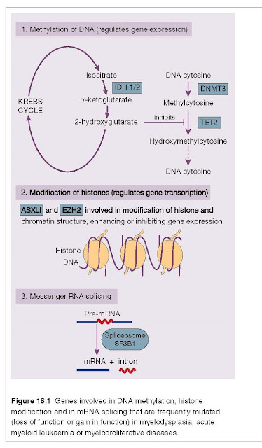 Epigenetics This refers to changes in DNA and chromatin that affect gene expression other than those that affect DNA sequence. Cellular DNA is packaged by wrapping it around histones, a group of specialized nuclear proteins. The complex is tightly compacted as chromatin. In order for the DNA code to be read, transcription factors and other proteins need to physically attach to DNA. Histones act as custodians for this access and so for gene expression. Histones may be modified by methylation, acetylation and phosphorylation which can result in increased or decreased gene expression and so changes in cell phenotype. Epigenetics also includes changes to DNA itself, such as methylation which regulates gene expression in normal and tumour tissues. The methylation of cytosine residues to methyl cytosine results in inhibition of gene transcription. The genes DNMT 3A and B are involved in the methylation, and TET 1,2,3 and IDH1 and 2 in the hydroxylation and there- fore breakdown of methylcytosine and restoration of gene expression (see Fig. 16.1). These genes are frequently mutated in the myeloid malignancies (see Chapters 13, 15 and 16).