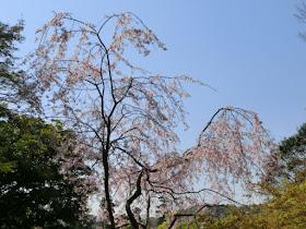 龍隠庵の枝垂れ桜