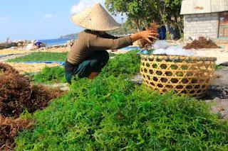 Sebagian besar dari kita dekat dengan yang namanya rumput maritim 7 Manfaat dan Bahaya Rumput Laut untuk Kesehatan