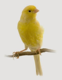 Foto Burung Kenari Update Harga Terbaru