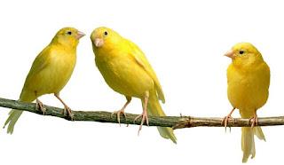 Fakta unik Burung Kenari (Serinus canaria)