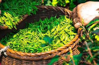Cara menghilangkan bau mulut dengan teh hijau