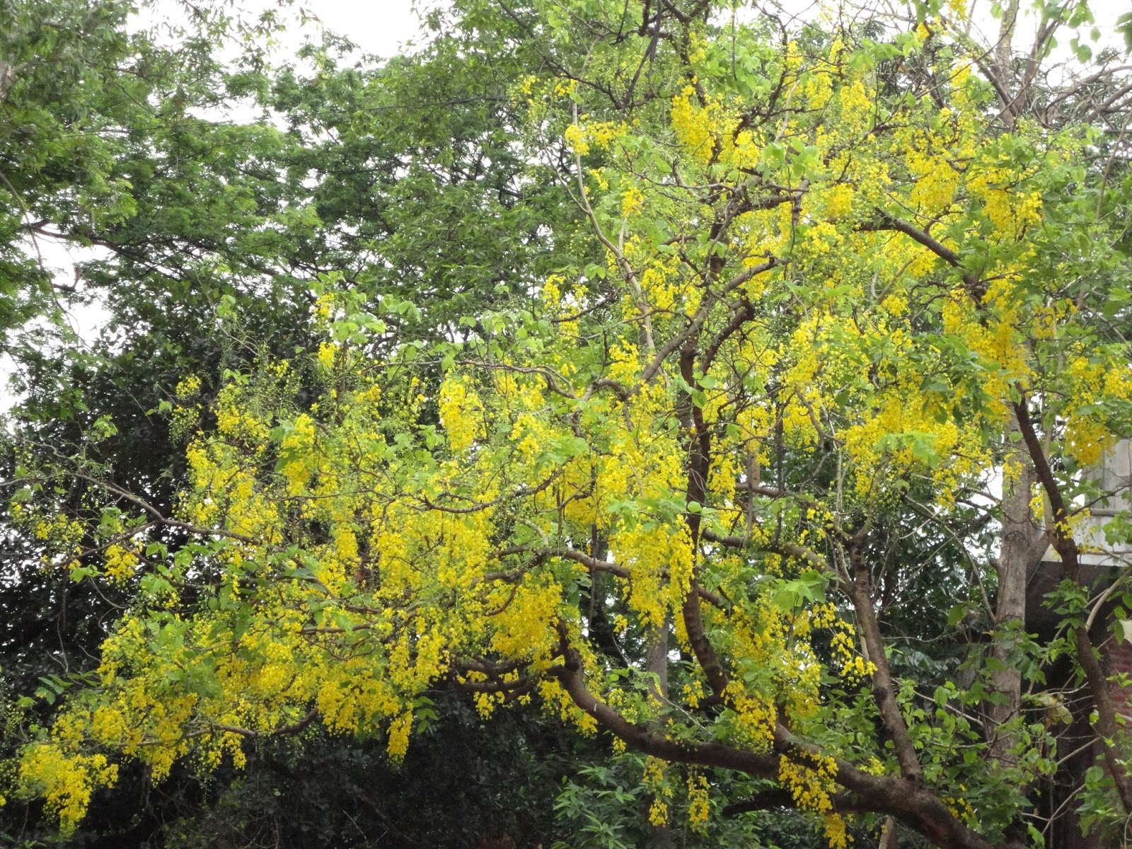 Shonalu golden shower tree cassia fistula in bangladesh the tree is very renowned for its fabulous golden flowers mightylinksfo