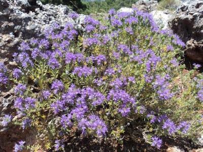 Μεγάλες οι προοπτικές για τ' αρωματικά φυτά