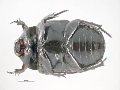 Resultado de imagen de escarabajo boca arriba