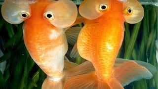 Sepasang ikan