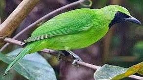 4 Jenis Burung Cucak Ijo Yang Populer Paling Lengkap