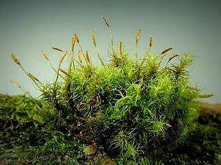 Ciri-Ciri Tumbuhan Lumut (Bryophyta) Lengkap Serta Pembagian Lumut